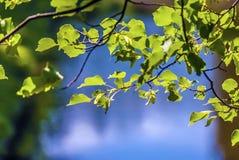Hojas del verde en el fondo azul Imágenes de archivo libres de regalías