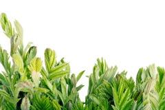 Hojas del verde en el fondo blanco Foto de archivo