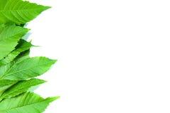 Hojas del verde en el fondo blanco Imágenes de archivo libres de regalías