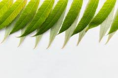 Hojas del verde en el fondo blanco Imagen de archivo libre de regalías