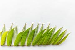 Hojas del verde en el fondo blanco Imagenes de archivo