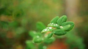Hojas del verde en el jardín Verde saturado Riegue los goteos en las hojas, cámara lenta, macro almacen de video