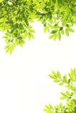 Hojas del verde en el marco blanco Imagen de archivo libre de regalías
