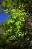 Hojas del verde en el sol en el medio de la primavera Foto de archivo