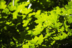Hojas del verde en el sol en el medio de la primavera Imagen de archivo libre de regalías