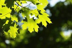 Hojas del verde en el sol en el medio de la primavera foto de archivo libre de regalías