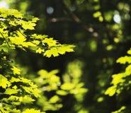 Hojas del verde en el sol en el medio de la primavera imágenes de archivo libres de regalías