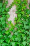 Hojas del verde en fondo del árbol Fotografía de archivo