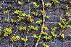 Hojas del verde en fondo de los ladrillos Fotografía de archivo