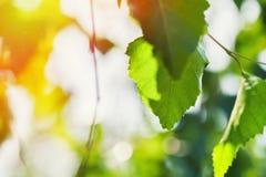 Hojas del verde en la luz del sol de la mañana Foto de archivo