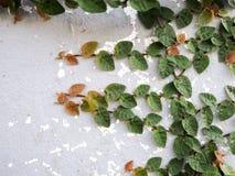 Hojas del verde en la pared blanca Foto de archivo libre de regalías