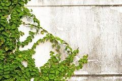 Hojas del verde en la pared de ladrillo vieja Imagenes de archivo