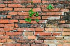 Hojas del verde en la pared de ladrillo vieja imagen de archivo