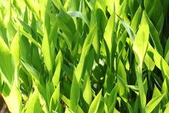 Hojas del verde en los sunlights Imagen de archivo libre de regalías