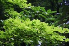 Hojas del verde en luz de la primavera Foto de archivo