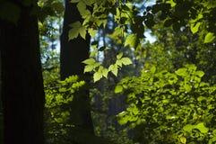 Hojas del verde en luz del sol Imagen de archivo libre de regalías