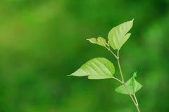 Hojas del verde en primavera Imagenes de archivo