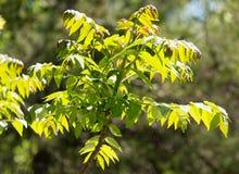 Hojas del verde en un árbol Fotos de archivo libres de regalías