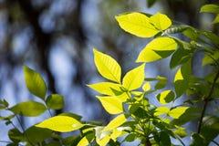 Hojas del verde en un árbol Imagen de archivo