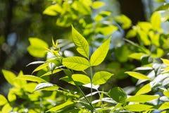 Hojas del verde en un árbol Fotografía de archivo libre de regalías