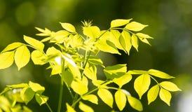 Hojas del verde en un árbol Imagen de archivo libre de regalías