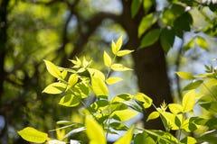 Hojas del verde en un árbol Fotos de archivo