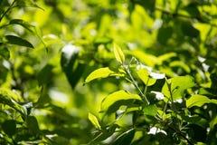 Hojas del verde en un árbol Imagenes de archivo