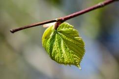 Hojas del verde en un árbol Foto de archivo libre de regalías