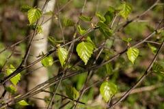 Hojas del verde en un día soleado Imagenes de archivo