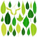 Hojas del verde fijadas en el vector blanco del fondo Foto de archivo