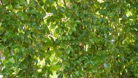 Hojas del verde para el fondo Foto de archivo