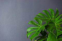 Hojas del verde del philodendron de la fractura-hoja del monstera Imagen de archivo
