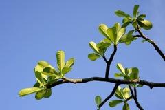 Hojas del verde del Plumeria Fotografía de archivo
