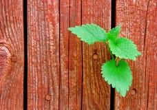 Hojas del verde que crecen a través de una cerca de madera Imagen de archivo libre de regalías