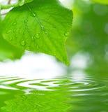 Hojas del verde que reflejan en el agua Fotografía de archivo