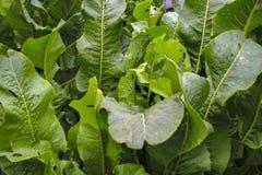 Hojas del verde del rábano picante en un primer de la cama foto de archivo
