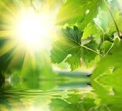 Hojas del verde sobre el agua Imagen de archivo libre de regalías