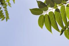 Hojas del verde sobre el cielo Fotos de archivo