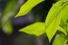 Hojas del verde usadas como fondo Imagenes de archivo