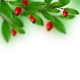 Hojas del verde y bayas rojas fotos de archivo libres de regalías