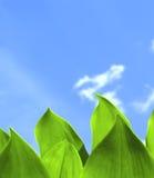 Hojas del verde y cielo azul Imagen de archivo