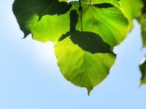 Hojas del verde y cielo azul Imagen de archivo libre de regalías