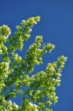 Hojas del verde y cielo azul Fotografía de archivo libre de regalías