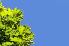 Hojas del verde y cielo azul Imágenes de archivo libres de regalías