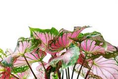 Hojas del verde y del color de rosa Foto de archivo