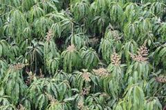 Hojas del verde y floración del polen del árbol de mango en la huerta Imagen de archivo libre de regalías
