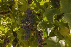 Hojas del verde y fondo púrpura de la uva imagen de archivo