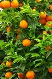 Hojas del verde y naranjas maduras. Imagen de archivo