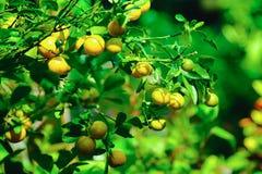 Hojas del verde y naranjas maduras en el árbol Fotografía de archivo