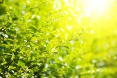 Hojas del verde y sol brillante Imagen de archivo